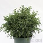 Bizarre Scheinzypresse 20-25cm - Chamaecyparis obtusa - Vorschau