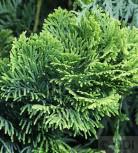 Hochstamm Gelbe Zwerg Muschelscheinzypresse 100-125cm - Chamaecyparis obtusa