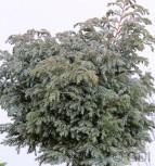 Silberzypresse Boulevard 20-25cm - Chamaecyparis pisifera