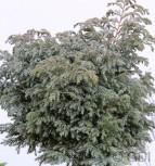 Silberzypresse Boulevard 60-80cm - Chamaecyparis pisifera