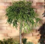 Hochstamm Gelbe Fadenzypresse 40-60cm - Chamaecyparis pisifera - Vorschau