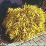 Gelbe Fadenzypresse 20-25cm - Chamaecyparis pisifera