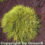 Gelbe Fadenzypresse Sungold 15-20cm - Chamaecyparis pisifera - Vorschau