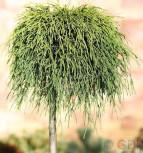 Hochstamm Gelbe Fadenzypresse Sungold 60-80cm - Chamaecyparis pisifera