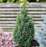 Kegelzypresse Top Point 30-40cm - Chamaecyparis thyoides - Vorschau