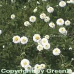 Römische Kamille - Chamaemelum nobile