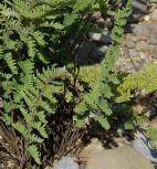 Lippenfarn - Cheilanthes lanosa - Vorschau