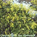 Goldtröpfchen - Chiastophyllum oppostifolium - Vorschau