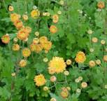 Winteraster Goldmarianne - Chrysanthemum Indicum
