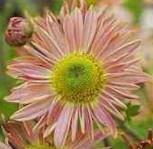 Winteraster Isabellrosa - Chrysanthemum Indicum - Vorschau