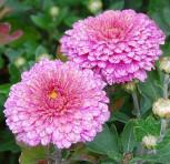 Winteraster Schloßtaverne - Chrysanthemum Indicum - Vorschau