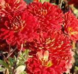 Winteraster Brockenfeuer - Chrysanthemum hortorum - Vorschau