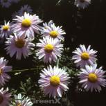 Herbstaster Hebe - Chrysanthemum hortorum - Vorschau