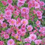 Herbstaster Mey-Kyo - Chrysanthemum hortorum - Vorschau