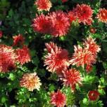 Winteraster Pizzicato - Chrysanthemum hortorum - Vorschau
