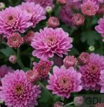 Winteraster Romantica - Chrysanthemum hortorum - Vorschau