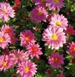 Winteraster Toscana - Chrysanthemum hortorum - Vorschau