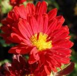 Winteraster Konrad - Chrysanthemum hortorum - Vorschau