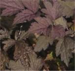 Traubensilberkerze Pink Spike - Cimicifuga ramosa