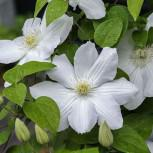 Waldrebe Madame Le Coultre 60-80cm - Clematis
