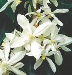 Immergrüne Duft Waldrebe 100-125cm - Clematis armandii