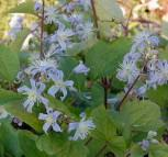 Staudenclematis Mrs. Robert Brydon - Clematis heracleifolia