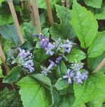 Stauden Clematis - Clematis heracleifolia