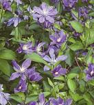 Staudenclematis Arabella 40-60cm - Clematis integrifolia
