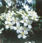 Berg Waldrebe Grandiflora 40-60cm - Clematis montana - Vorschau
