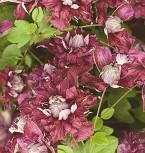 Robuste Waldrebe Purpurea Plena Elegans 60-80cm - Clematis viticella