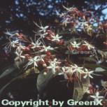 Japanischer Losbaum 100-125cm - Clerodendrum trichotomum