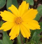 Mädchenauge Christchurch - Coreopsis grandiflora