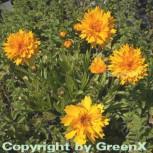 Mädchenauge Early Sunrise - großer Topf - Coreopsis grandiflora - Vorschau