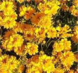 Mädchenauge Sonnenkind - Coreopsis grandiflora - Vorschau