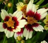 Mädchenauge Snowberry - Coreopsis rosea