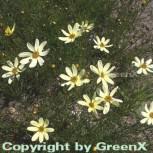 Mädchenauge Moonbeam - Coreopsis verticillata