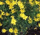Mädchenauge Zagreb - Coreopsis verticillata - Vorschau