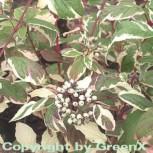 Weißbunter Sibirischer Hartriegel 60-80cm - Cornus alba - Vorschau