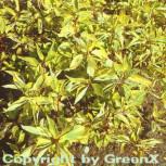 Gelbbunter Hartriegel 60-80cm - Cornus alba - Vorschau