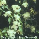 Etagen Hartriegel 80-100cm - Cornus alternifolia - Vorschau