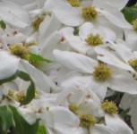 Blumenhartriegel Appalachian Snow 100-125cm - Cornus florida - Vorschau