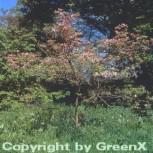 Amerikanischer Blumen Hartriegel Cherokee Chief 125-150cm - Cornus florida - Vorschau