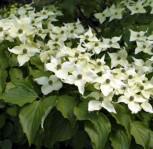 Chinesischer Blumen Hartriegel Eurostar 80-100cm - Cornus kousa - Vorschau