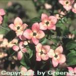Japanischer Blumenhartriegel Satomi 40-60cm - Cornus kousa