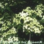 Chinesischer Blumenhartriegel Wietings Select 40-60cm - Cornus kousa