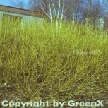 Gelber Hartriegel 80-100cm - Cornus stolonifera