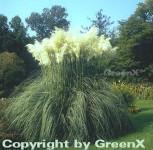 Pampasgras weiße Wedel - Cortaderia selloana