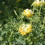 Sibirischer Lerchensporn - Corydalis nobilis - Vorschau