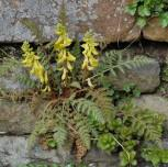 Farn Lerchensporn - Corydalis wilsonii - Vorschau