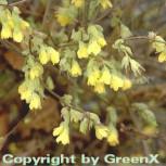 Niedrige Scheinhasel 40-60cm - Corylopsis pauciflora